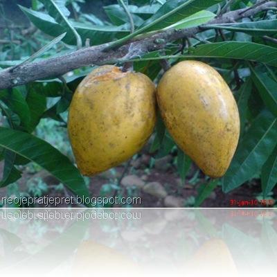 buah sawo garut 09