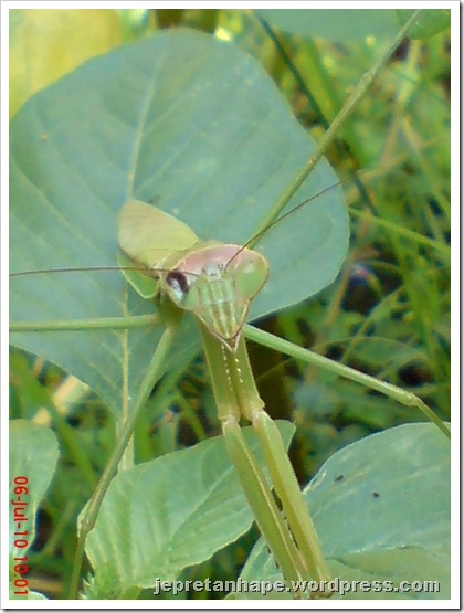 one eye praying mantis 03