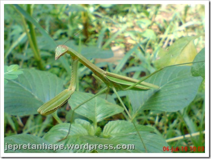 one eye praying mantis 05