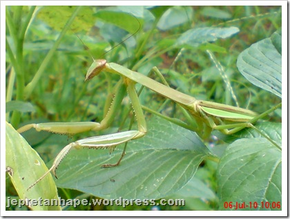 one eye praying mantis 11