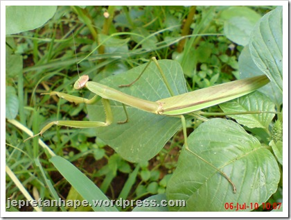 one eye praying mantis 12