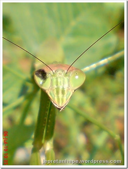 one eye praying mantis 14