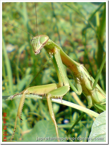 one eye praying mantis 26