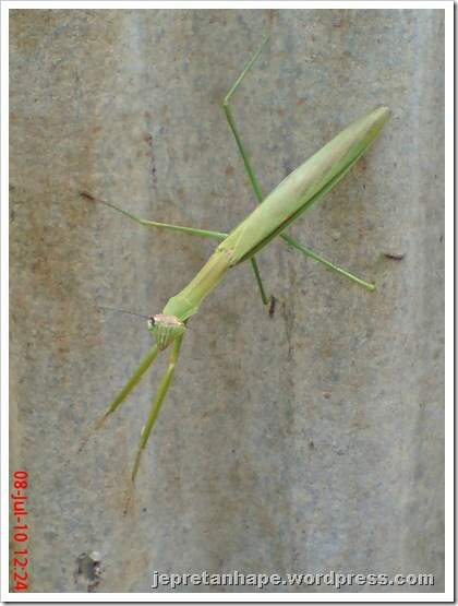 one eye praying mantis 31