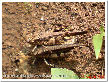 brown grasshopper mating 03