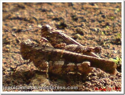 brown grasshopper mating 05