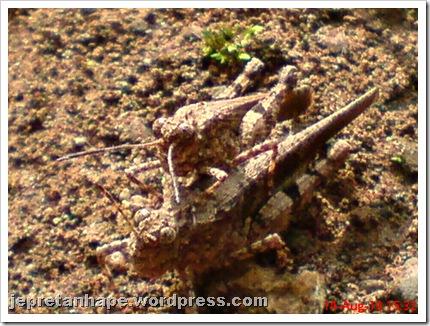 brown grasshopper mating 07