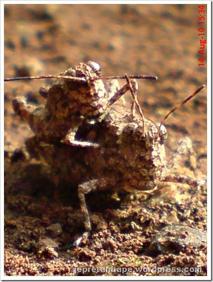 brown grasshopper mating 10