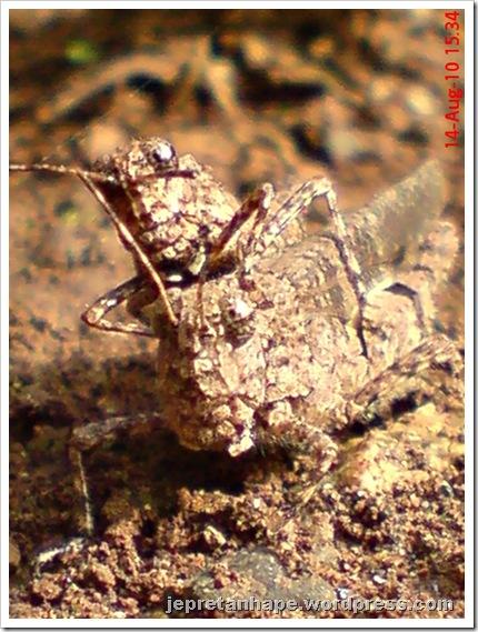 brown grasshopper mating 11