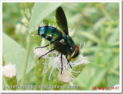 flower fly-lalat bunga 01