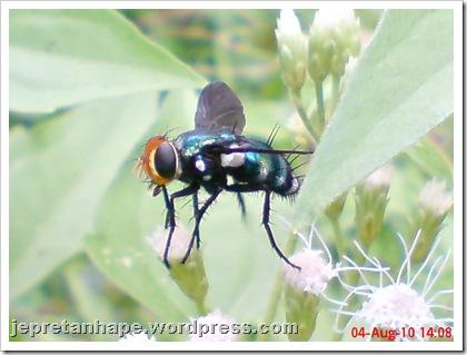 flower fly-lalat bunga 02