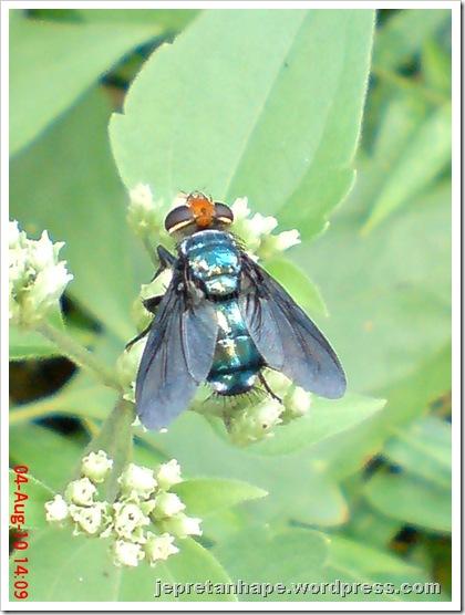 flower fly-lalat bunga 03