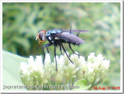flower fly-lalat bunga 04