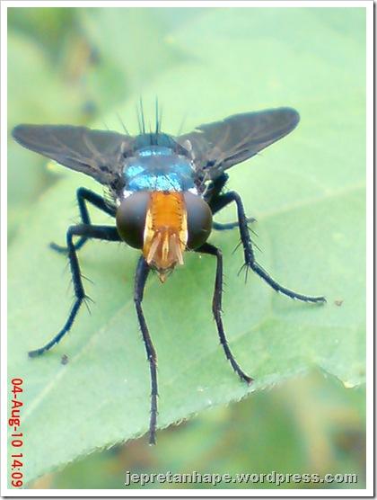 flower fly-lalat bunga 06