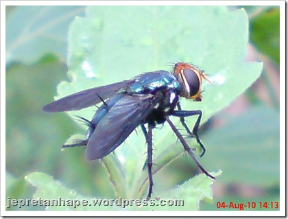 flower fly-lalat bunga 09