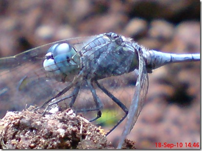small blue dragonfly 11
