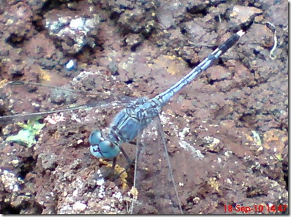 small blue dragonfly 12