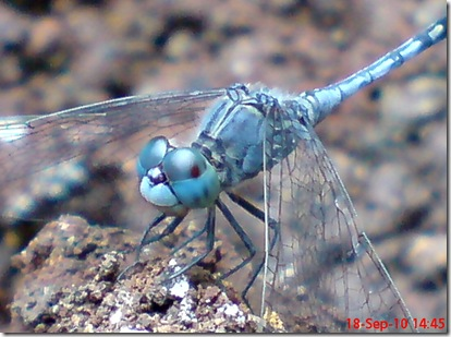 small blue dragonfly 7