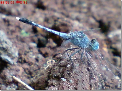 small blue dragonfly