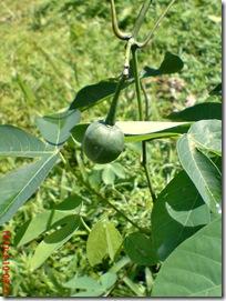buah singkong karet