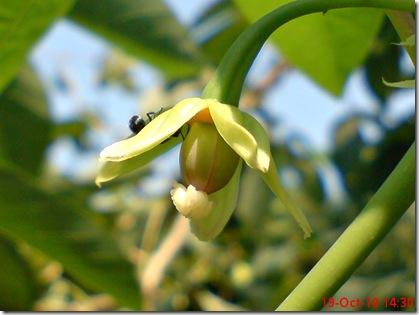 bunga singkong karet 12