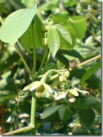 bunga singkong karet 14