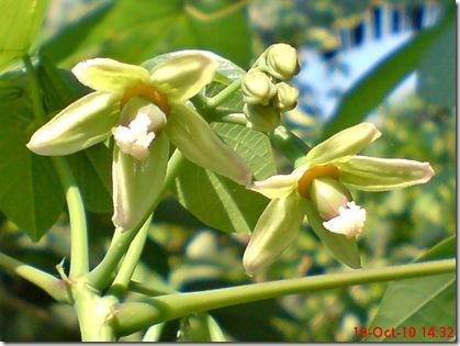 bunga singkong karet 16