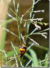 kumbang kepik 11