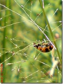 kumbang kepik 12
