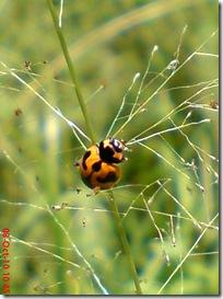 kumbang kepik 13