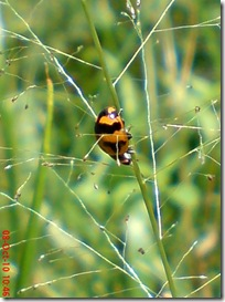 kumbang kepik 14