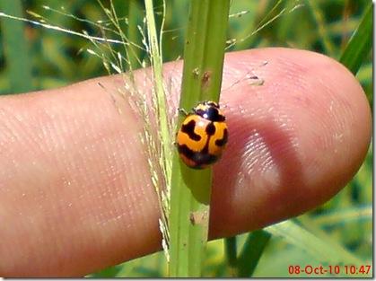 kumbang kepik 16