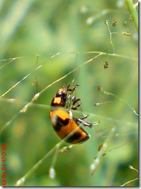 kumbang kepik 17
