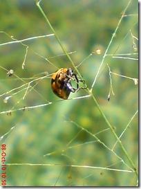 kumbang kepik 18