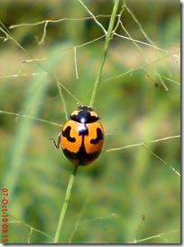 kumbang kepik 1