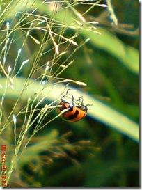 kumbang kepik 22