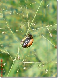 kumbang kepik 25