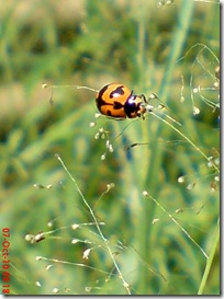 kumbang kepik 4
