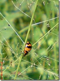 kumbang kepik 6