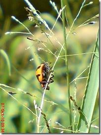 kumbang kepik 9