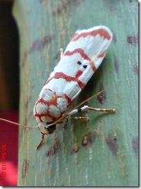 ngengat putih bergaris merah 06
