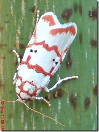 ngengat putih bergaris merah 07