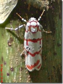 ngengat putih bergaris merah 17