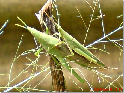 green grasshopper mating front view 12