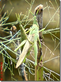 green grasshopper mating front view 15