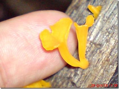 jamur kuning 01