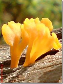 jamur kuning 17
