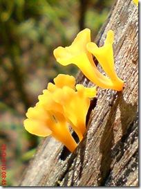 jamur kuning 19