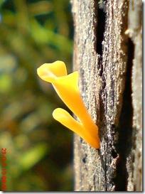 jamur kuning 20