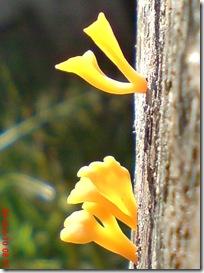 jamur kuning 27